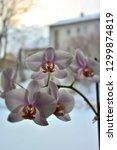 orchid flowers bloom in winter.   Shutterstock . vector #1299874819