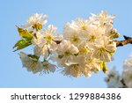 cherry blossoms on a blue sky.... | Shutterstock . vector #1299884386