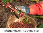 coffee berries beans harvested... | Shutterstock . vector #129989510