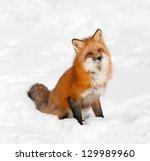 Red Fox  Vulpes Vulpes  Sits I...