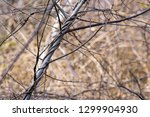 vines intertwined around a...   Shutterstock . vector #1299904930
