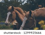 horse ranch shoes equine on... | Shutterstock . vector #1299925666