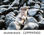 baby sea lion resting on a rock ...   Shutterstock . vector #1299945403