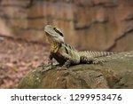 eastern water dragon lying on...   Shutterstock . vector #1299953476