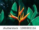 Heliconia Psittacorum Or...
