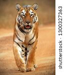 a wild  adult female tiger... | Shutterstock . vector #1300327363