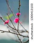 the sakura flowering in spring... | Shutterstock . vector #1300413103
