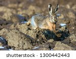 Stock photo european hare lepus europaeus is running in running through mud european wildlife wild animal 1300442443