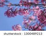 dalat sakura flower blossom in...   Shutterstock . vector #1300489213