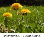 yellow dandelions and flying... | Shutterstock . vector #1300543846