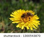 bee in pollen on  yellow... | Shutterstock . vector #1300543870