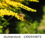 bee collecting nectar on yellow ... | Shutterstock . vector #1300543873