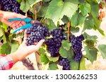 winemaker harvesting grapes | Shutterstock . vector #1300626253