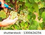 winemaker harvesting grapes | Shutterstock . vector #1300626256