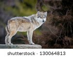 Mexican Gray Wolf  Canis Lupus...