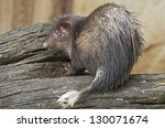 Small photo of African brush-tailed porcupine