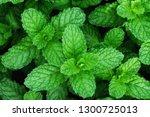 nature  green spearmint herb... | Shutterstock . vector #1300725013