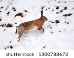 Stock photo the european hare lepus europaeus running on the snow covered field 1300788673