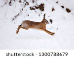 Stock photo the european hare lepus europaeus running on the snow covered field 1300788679