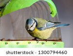 blue tit sitting on feeder... | Shutterstock . vector #1300794460