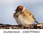 eurasian tree sparrow sitting... | Shutterstock . vector #1300794463