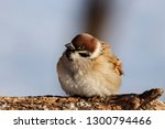 eurasian tree sparrow sitting... | Shutterstock . vector #1300794466