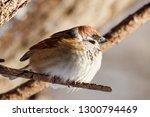 eurasian tree sparrow sitting... | Shutterstock . vector #1300794469