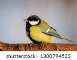 great tit sitting on branch of... | Shutterstock . vector #1300794523