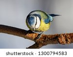 blue tit sitting on branch of... | Shutterstock . vector #1300794583