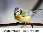 blue tit sitting on branch of... | Shutterstock . vector #1300794586