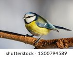 blue tit sitting on branch of... | Shutterstock . vector #1300794589