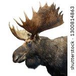 Moose  Or Elk  With Huge...