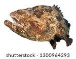 Grouper fish isolated on white background