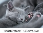 Stock photo sleeping kitten breed russian blue on a blue background 130096760