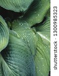 close up of large hosta leaves... | Shutterstock . vector #1300985323