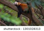 Wild Red Panda