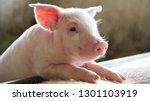 Happy newborn piglet in a...