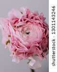 Small photo of Beautiful blossoming single pink ranunculus Hermione flower on the grey wall background, close up view, vertical photo