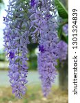 purple flower bunches tend to...   Shutterstock . vector #1301324839