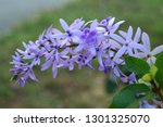 purple flower bunches tend to...   Shutterstock . vector #1301325070