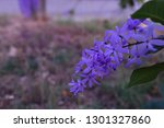 purple flower bunches tend to...   Shutterstock . vector #1301327860