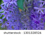 purple flower bunches tend to...   Shutterstock . vector #1301328526