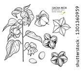 hand drawn sacha inchi plant... | Shutterstock .eps vector #1301360959