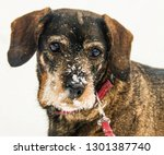 sweet dachshund in the snow in... | Shutterstock . vector #1301387740