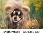 funny dog with lion mane  | Shutterstock . vector #1301388130