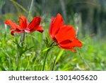 red anemones in spring in the... | Shutterstock . vector #1301405620