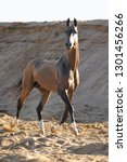 bay akhal teke stallion runs...   Shutterstock . vector #1301456266