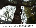 aerial roots entangled in a... | Shutterstock . vector #1301463226