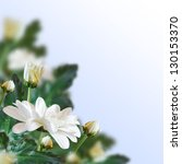 Beautiful white flowers on a blue. Floral background. - stock photo