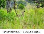 waterbuck  kobus ellipsiprymnus ... | Shutterstock . vector #1301564053